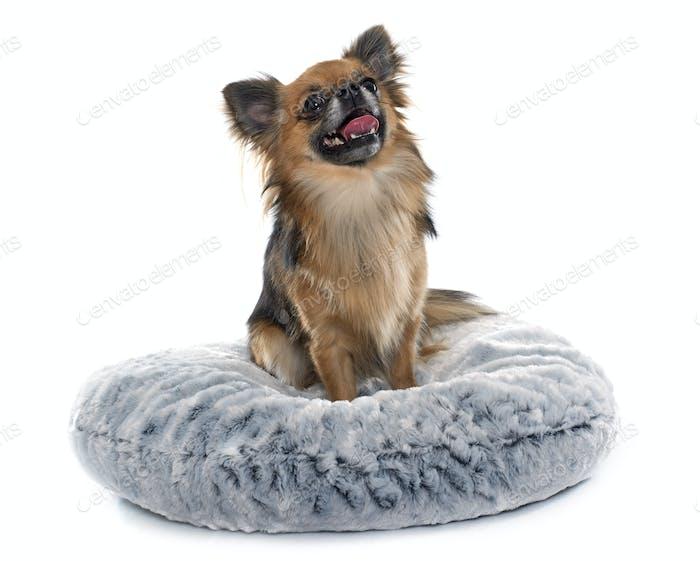 lange Haare Chihuahua
