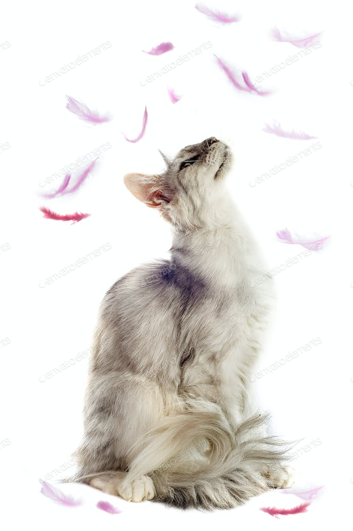 maine coon cat and feathers