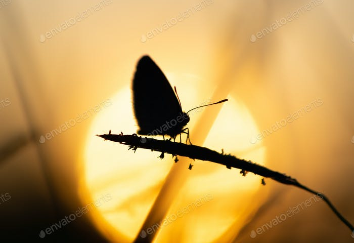 Silhouette of butterfly in sunset