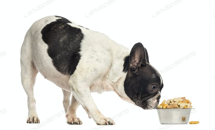 French Bulldog sniffing a bowl full of biscuits, isolated on white