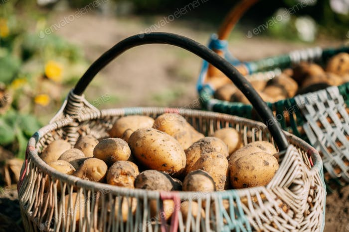 Organic Potatoes In Basket On Ground Of Vegetable-Garden. Autumn