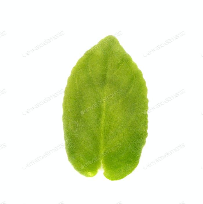 Young leaf of violet flower.
