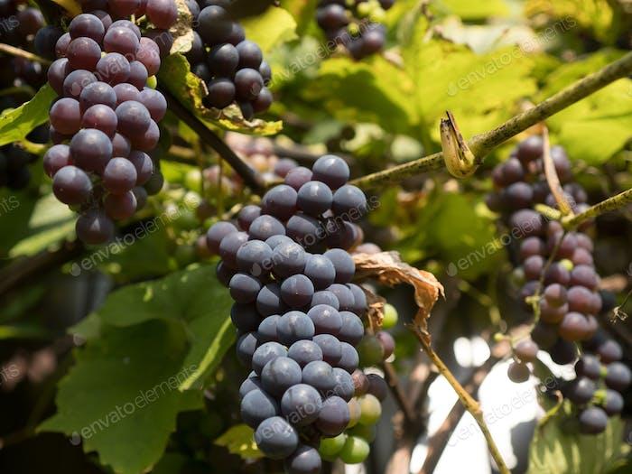 Ripe home-grown grapes