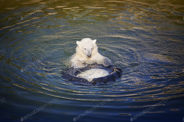 Polar bear cub playing on the water. Zoo life. Horizontal