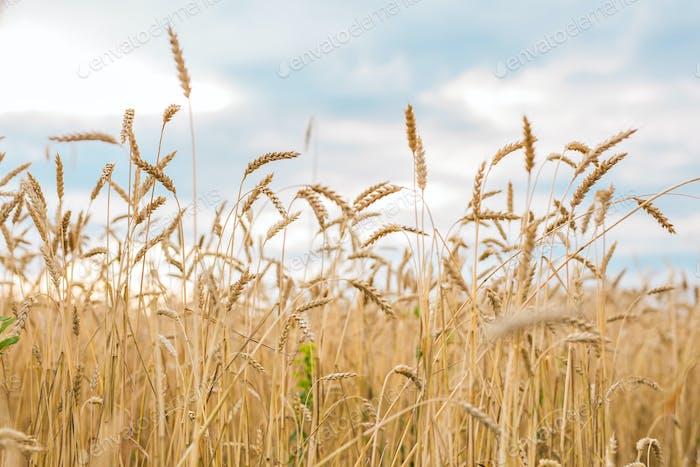 goldenen Weizenfeld und sonnigen Tag