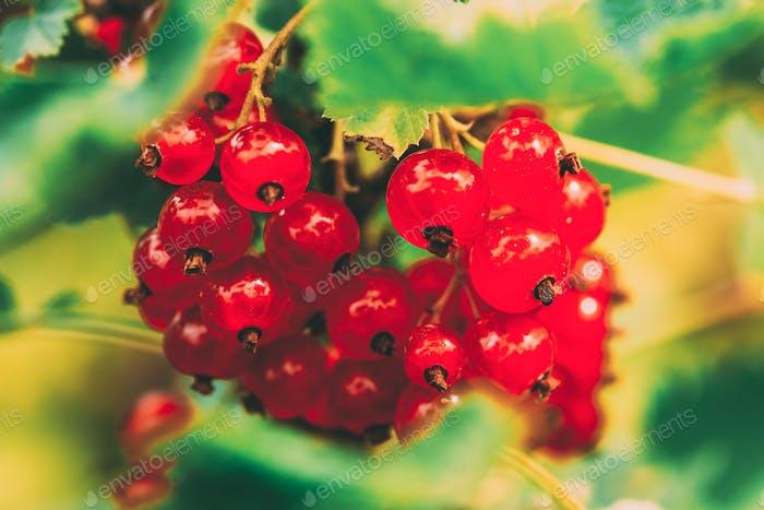 Rote Johannisbeere Zweig. Wachsende Bio-Beeren. Obstgarten