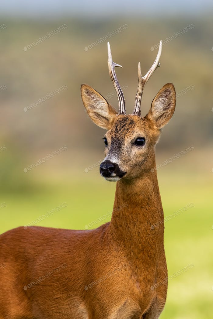 Portrait of a roe deer, capreolus capreolus, buck in summer