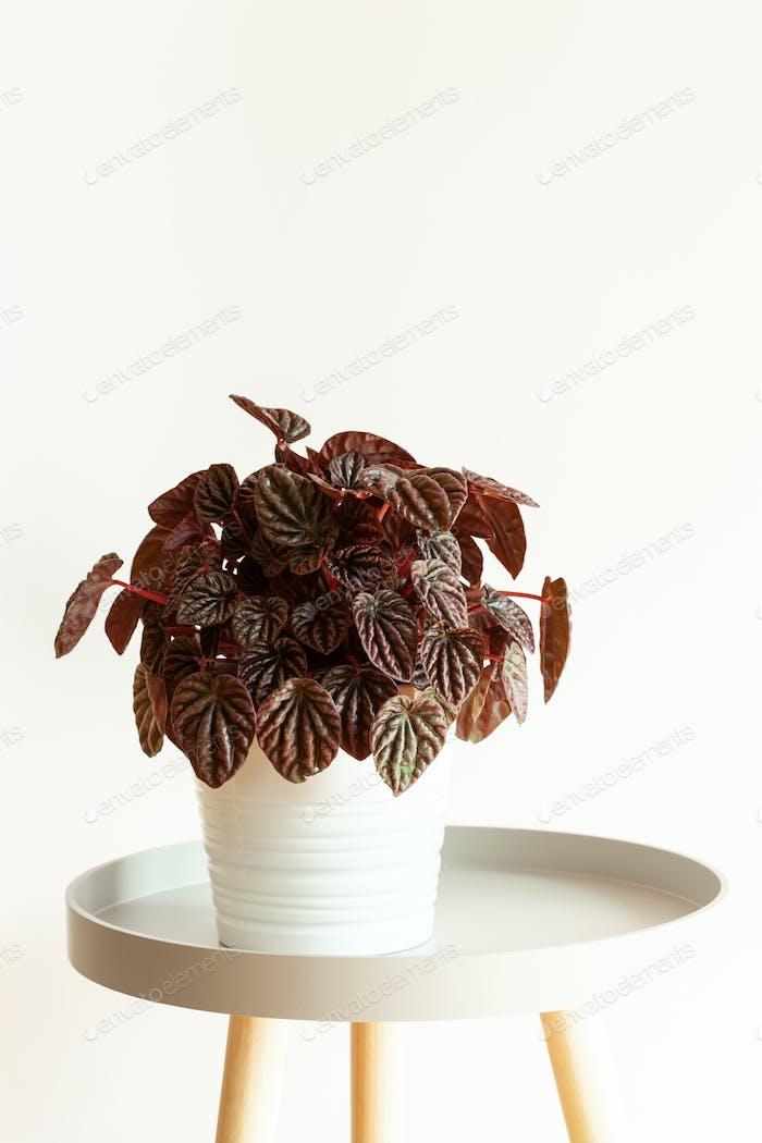 houseplant  peperomia caperata in white flowerpot