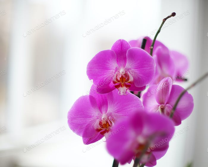 Lilac orchid on the window with snow