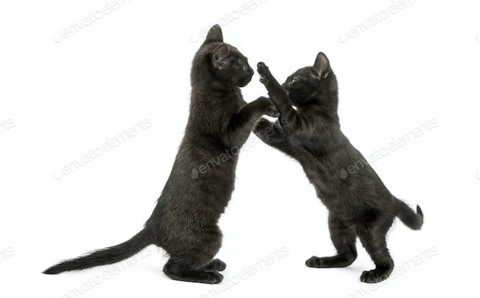 Side view of two Black kittens playing, 2 months old, isolated on white