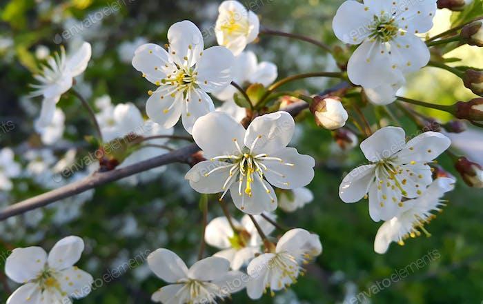 Zweig eines Frühlingsblühenden Baumes