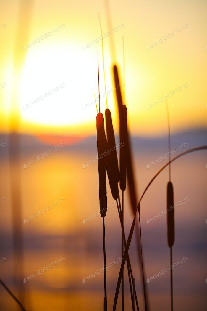 Silhouette der Schilf bei Sonnenuntergang