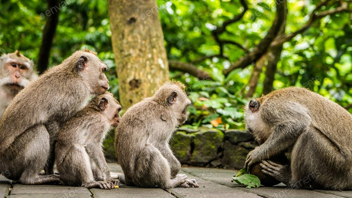Opening Coconut, Long-tailed macaques, Macaca fascicularis, in Sacred Monkey Forest, Ubud, Indonesia