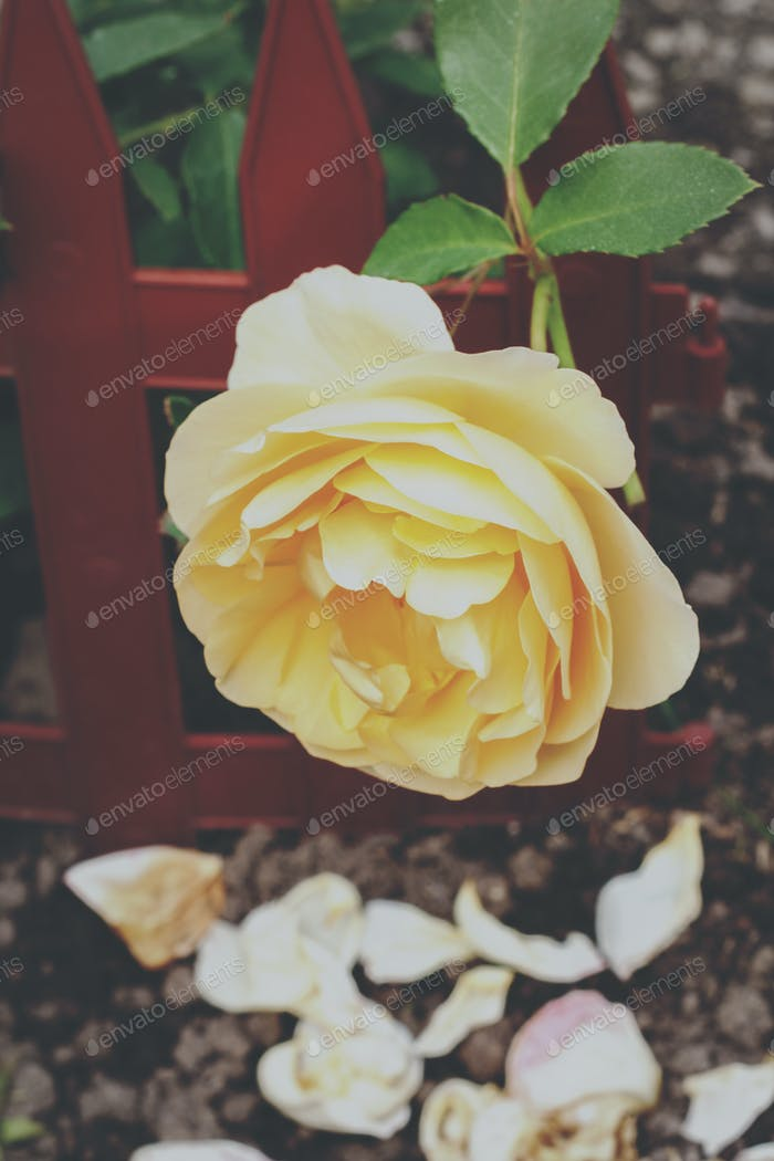 Yellow rose in a garden. Vintage film and grain style.