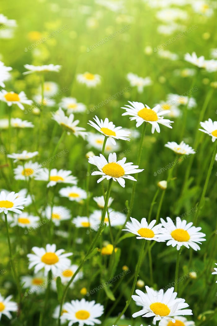 Beautiful wild daisies