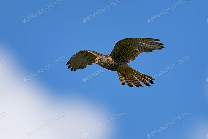 Common kestrel (Falco tinnunculus) Juvenile