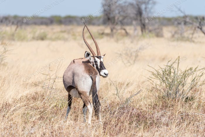 Oryx, also called gemsbok, with a deformed horn