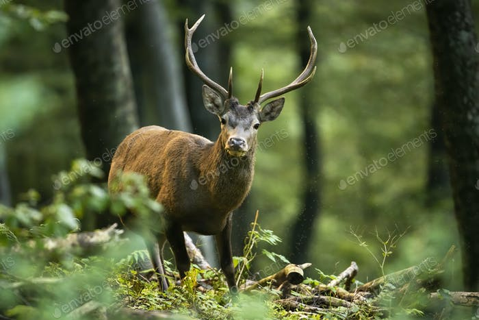 Red deer stag standing in forest with branches on the ground and facing camera