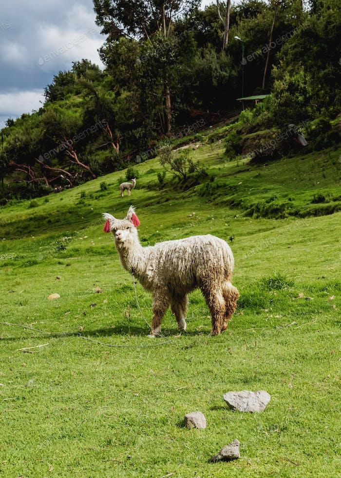 Alpaca in Peru