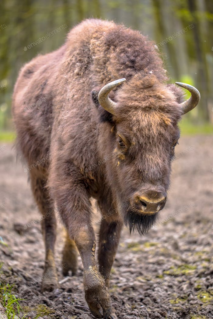 Juvenile Wisent walking towards camera