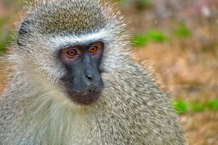 Vervet Monkey, Kruger National Park, South Africa