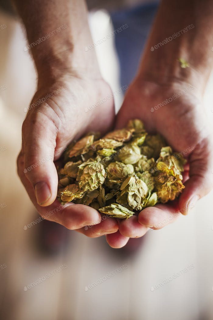 Close up of human hands holding dried hops. Brewing ingredients.