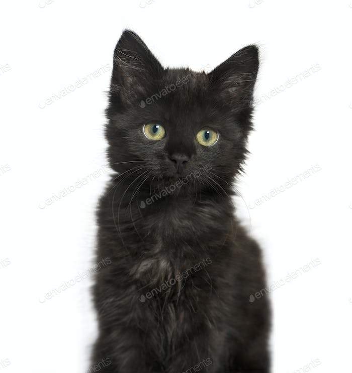 portrait of a Black cat kitten, isolated on white