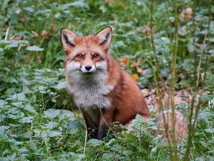 Roter Fuchs (Vulpes vulpes)
