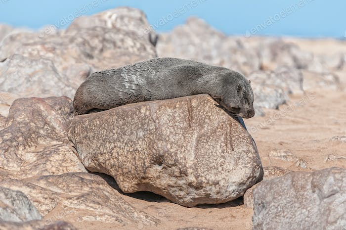 Cape Fur Seal basking in the sun at Cape Cross