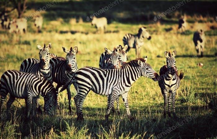 Zebras herd on African savanna.