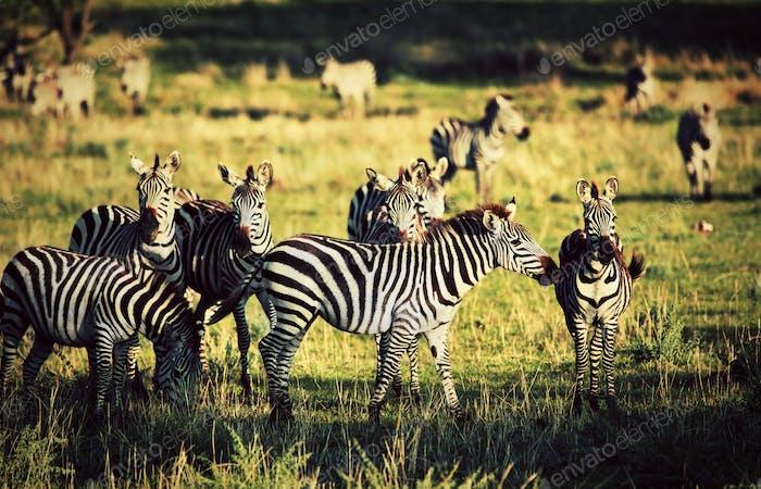 Zebras Herde auf afrikanischer Savanne.