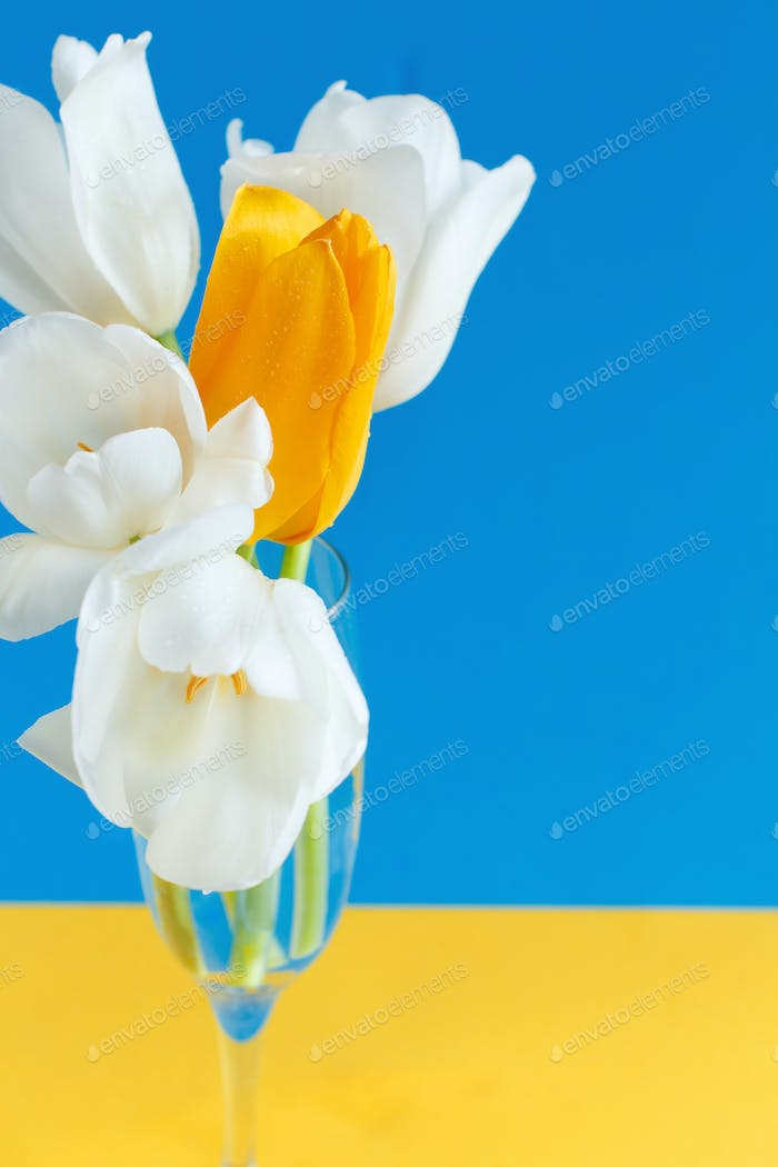 White and yellow Tulips on a blue and yellow background