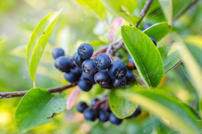 Aronia melanocarpa reife Beeren auf dem Ast