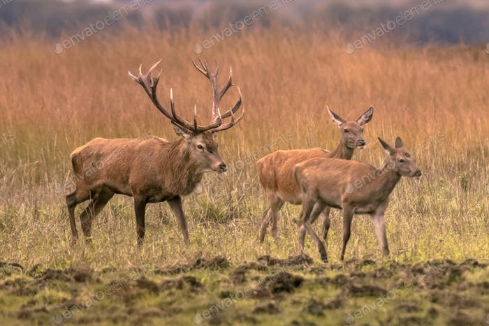 Strong red deer buck with hinds