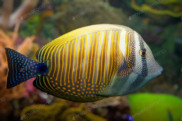 Tropical coral fish