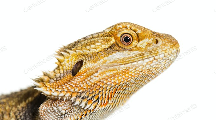 Close up of Bearded Dragon, Pogona vitticeps, in front of white background