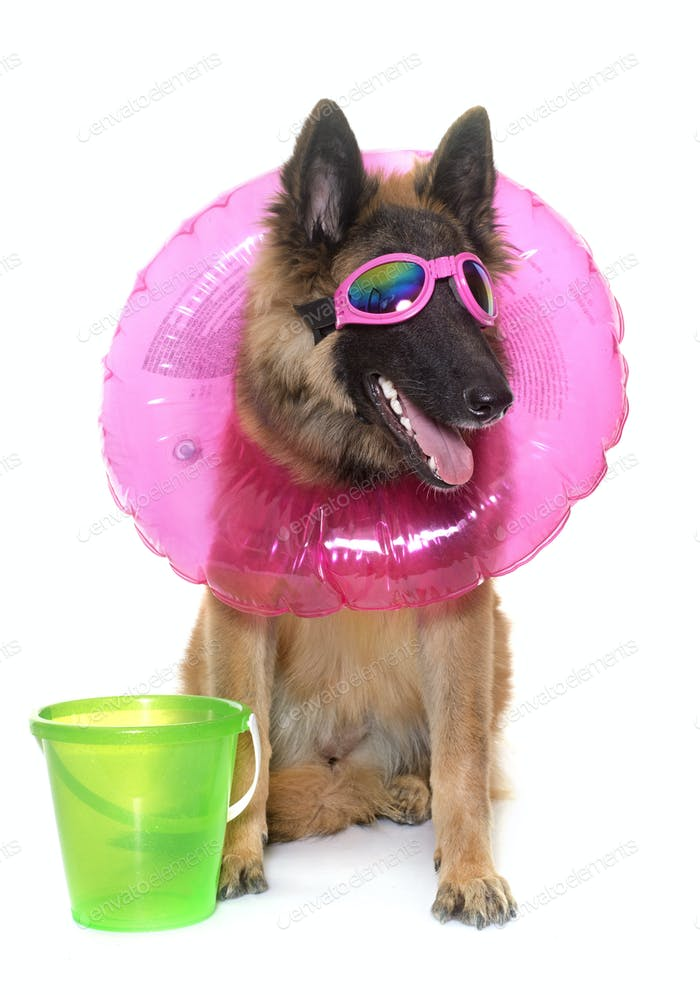 belgian shepherd tervuren in holiday