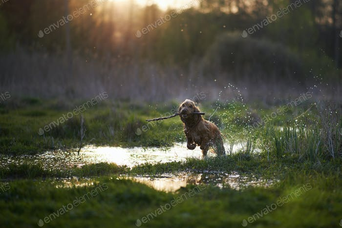 redhead Spaniel dog running with a stick