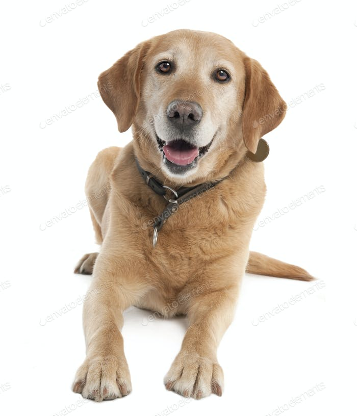 Labrador (7 years old)