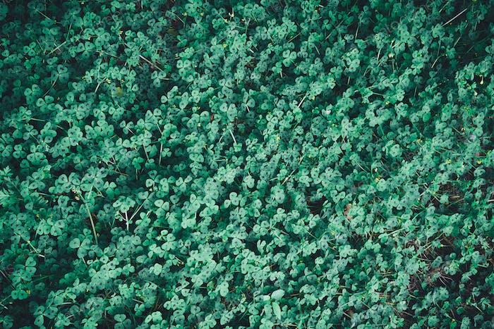 grüne Blätter von medicago arabica oder Herz Klee Hintergrund