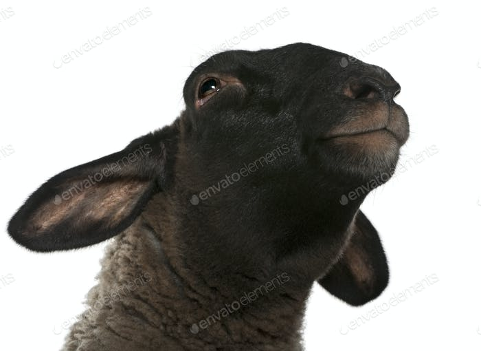 Female Suffolk sheep, Ovis aries, 2 years old, in front of white background