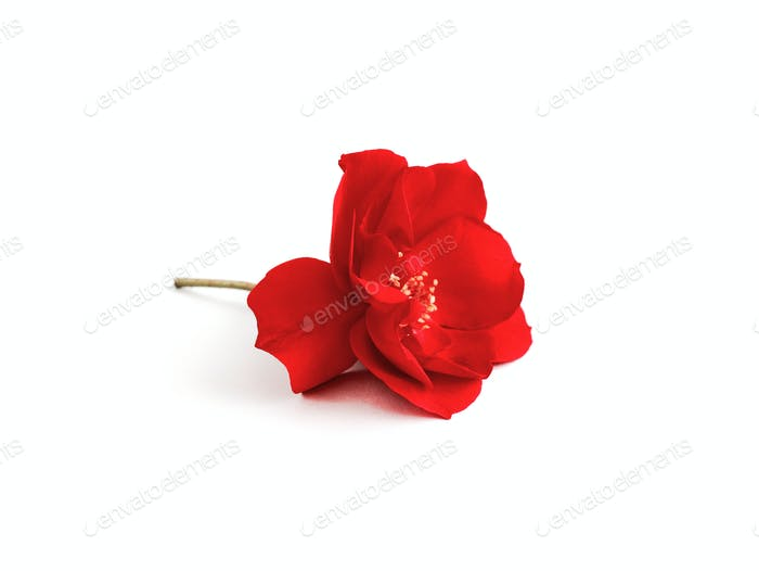 Red rose close up isolated on white