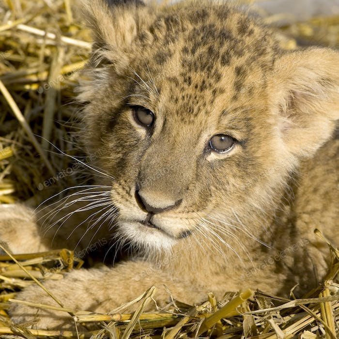 Lion Cub (7 weeks)