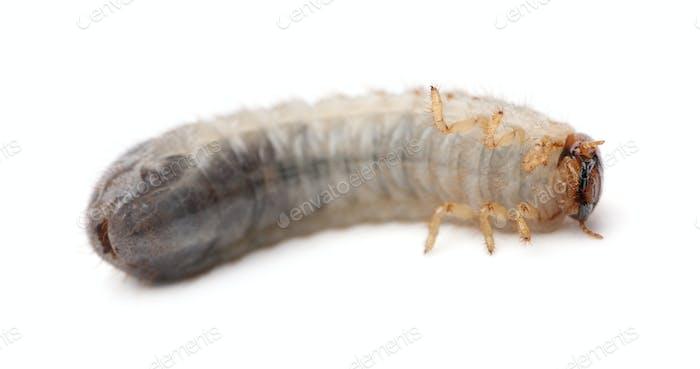 Larva of mealworm, Tenebrio molitor, against white background