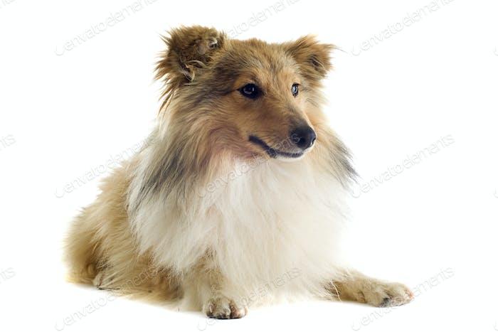 shetland dog