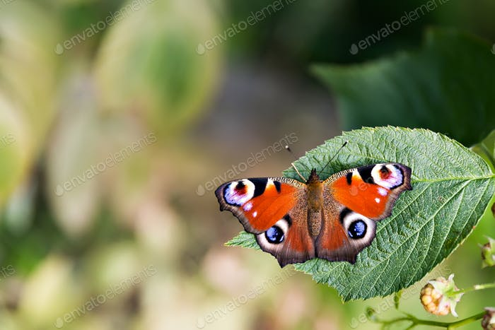Peacock butterfly on a leaf