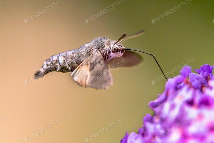 Kolibri Falkenmotte Schmetterling