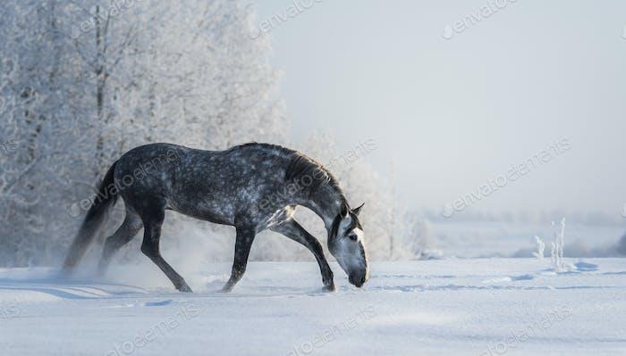 Spanisches graues Pferd geht auf Freiheit im Winter.