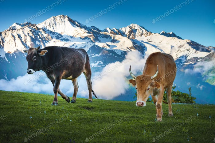 Cows walking on alpine meadow. Summer landscape