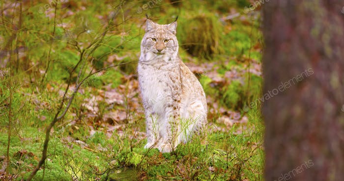 Proud young european lynx sits in the autumn forest
